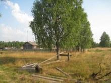 Береза на бывшем школьном дворе. 2013. Фото Виталия Засухина. www.vyatlag.ru