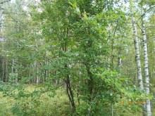 Яблоня, выросшая на месте дома